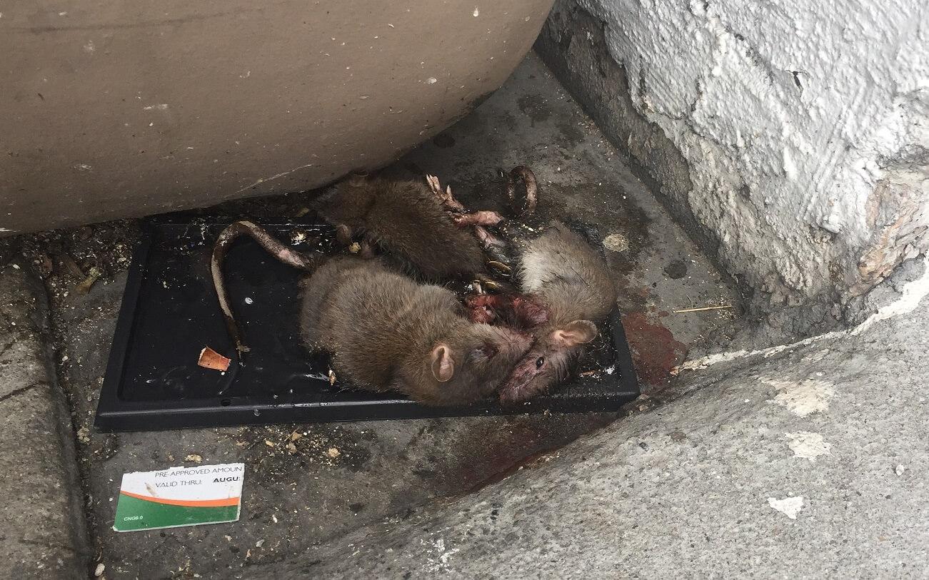 glue traps, rats in glue traps, euthanasia