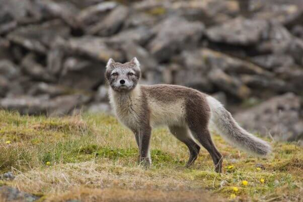 a wild arctic fox with a gray / blue coat looks to camera while standing on dry grass