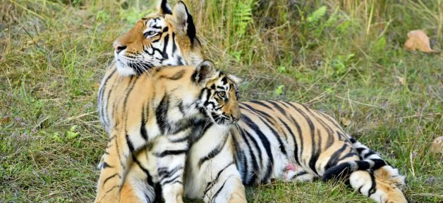 An affectionate moment between a tiger and a cub