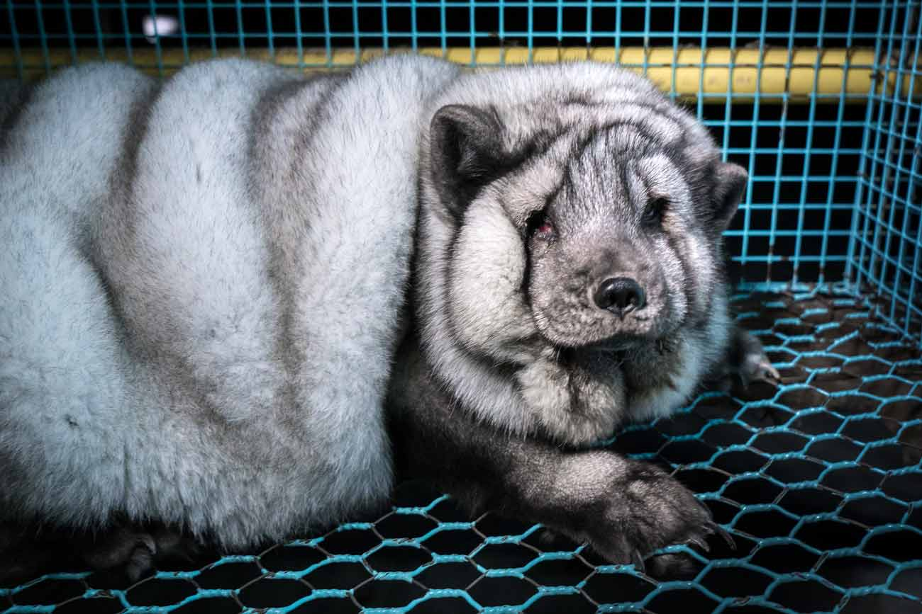 gray arctic fox, severly overweight, looks sadly to camera