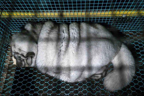 an artctic fox in captivity on a fur farm