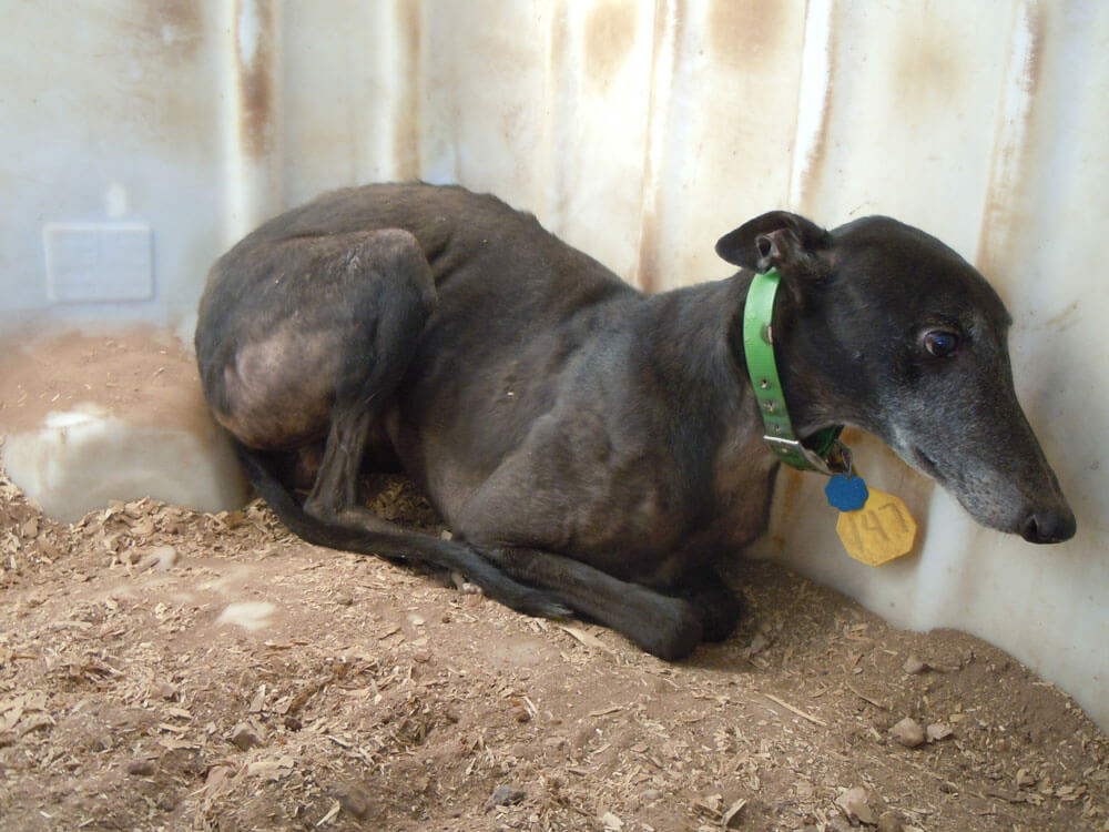 PETA's exposé led to the closure of The Pet Blood Bank in Texas, Greyhound Adoptions