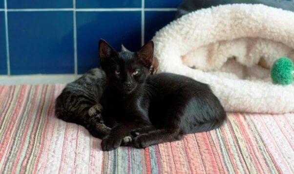 Sleepy black kitten facing camera; tabby kitten lying next to him