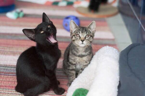 Black kitten yawning, gray tabby kitten beside him
