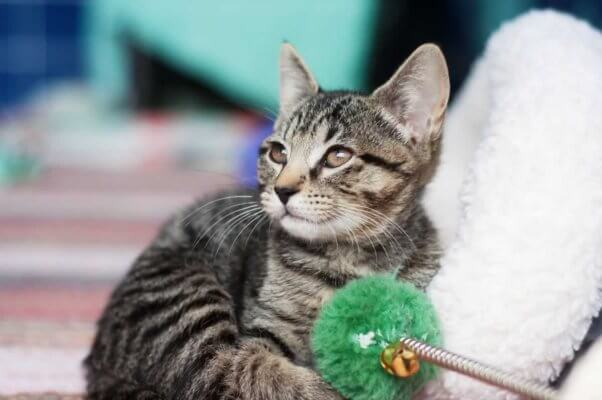 Cute gray tabby kitten with green toy