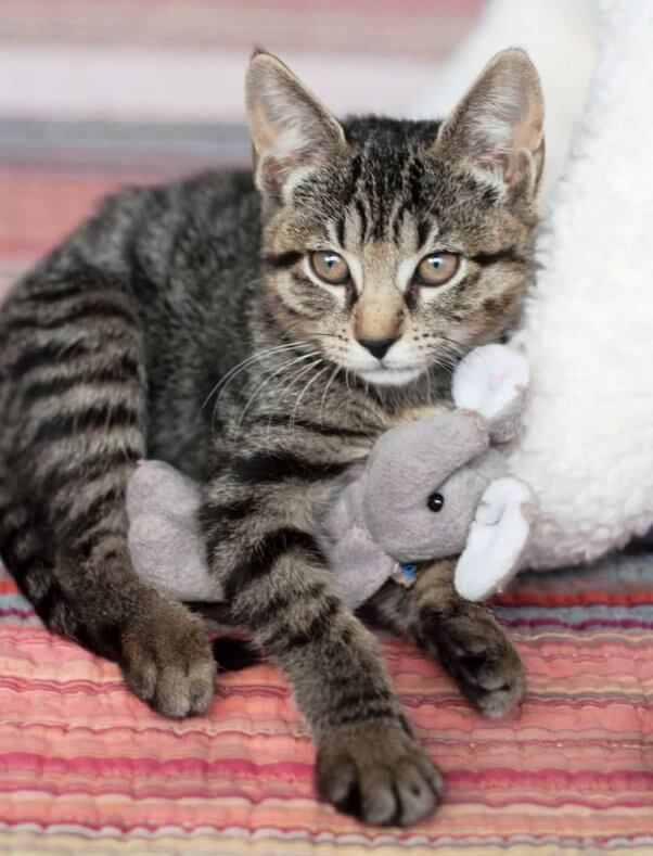Cute gray tabby kitten with toy