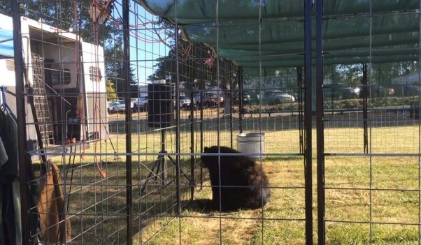Great Bear Show, Bob Steele, bear in performance area