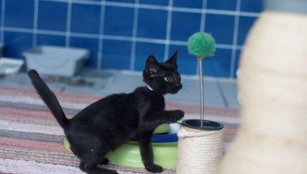 Cute black kitten batting at top