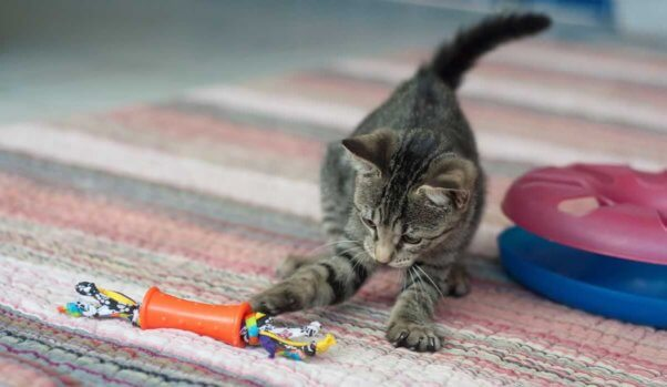Cute gray tabby kitten plays with toy