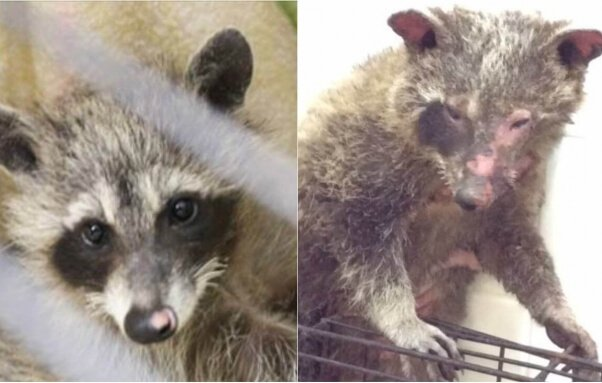 this baby raccoon was set on fire, later dying from her injuries