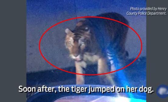 After Fatal Georgia Tiger Shooting, 14 More Big Cats Turn Up