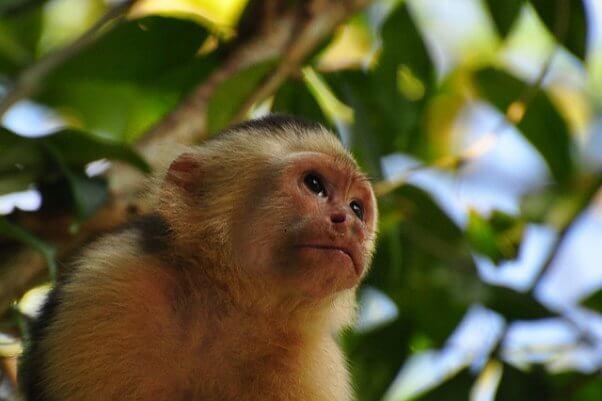 capuchin, monkey, wild, happy, free