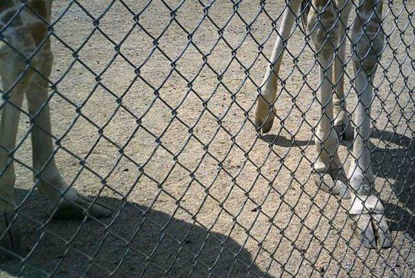 giraffes, elongated hooves, overgrown hooves, hoof problems, natural bridge zoo