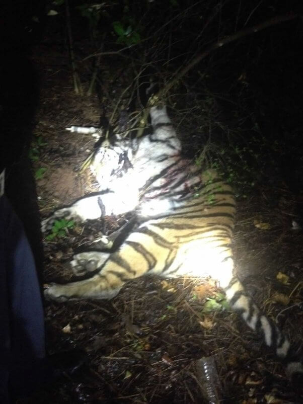 Dead tiger lying on ground