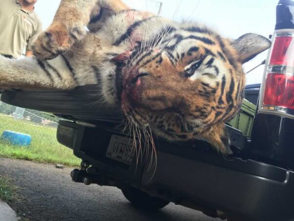 Close-up of former Ringling Bros. tiger suzy after being shot and killed