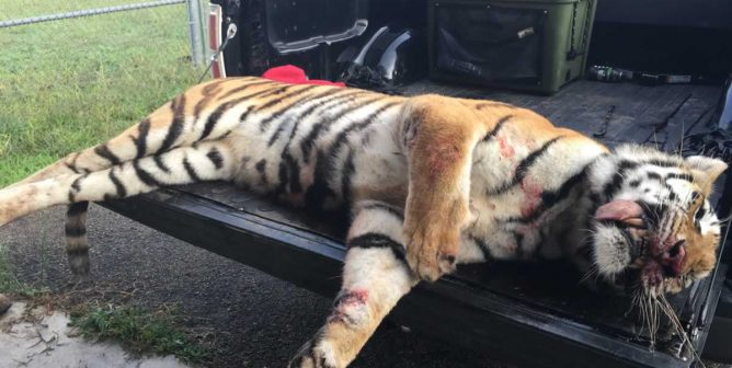 Graphic Photos Show Tiger From Ringling Bros. Shot Dead