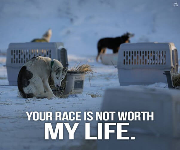iditarod dogsled race, promotional images, cold chained dogs