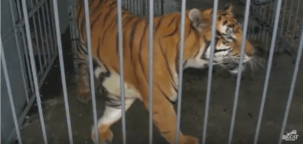 tony the tiger, michael sandlin, tiger truck stop, euthanized