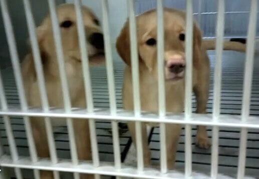 lunes dies texas A&M dog lab