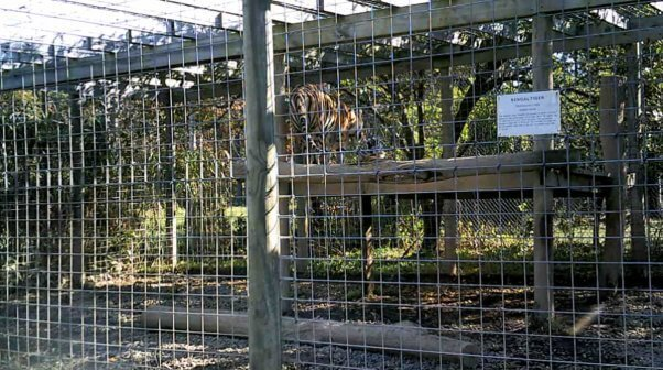 Unimproved platform and small enclosure where tigers are confined