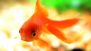 Fish in Laboratories