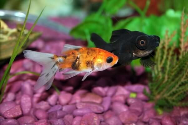 Why Fish Make Sad Classroom Pets Peta