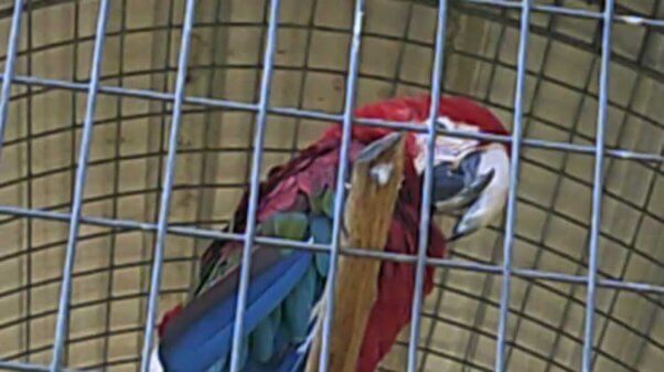A macaw with an excessively long beak