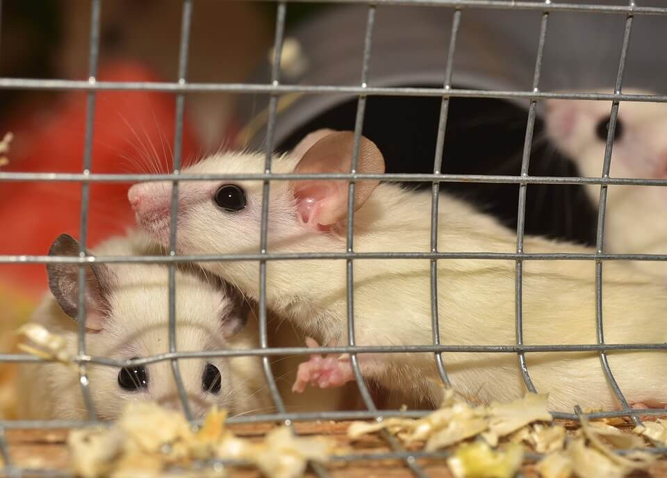 Mice and Rats in Laboratories | PETA