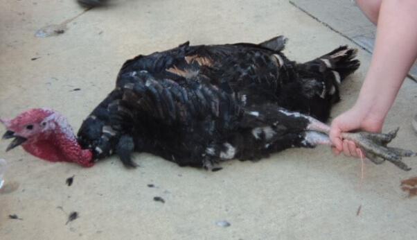 turkey injured in yellville turkey drop