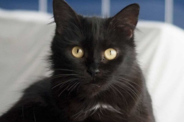 Pretty black cat looking into camera