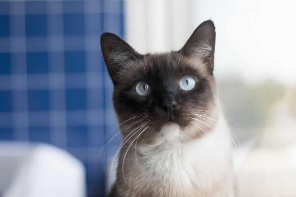 Close-up of handsome Siamese cat at PETA headquarters