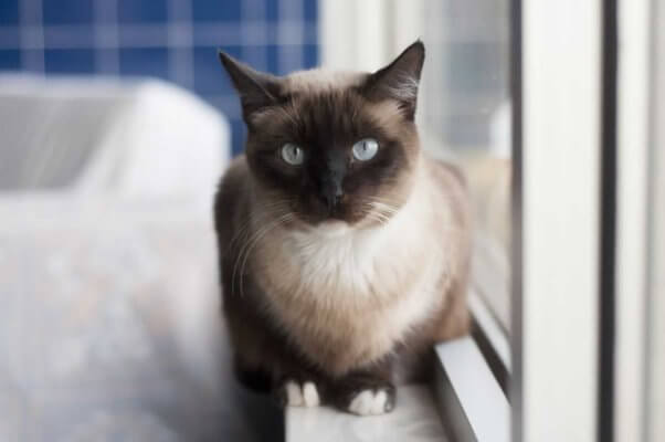 Siamese cat rescued by PETA