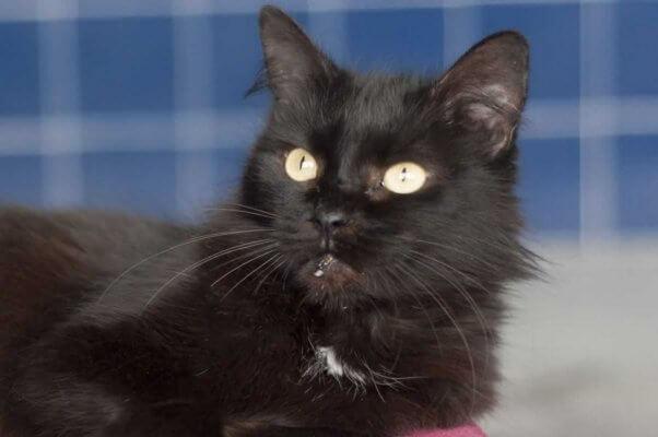 Pretty black cat rescued by PETA