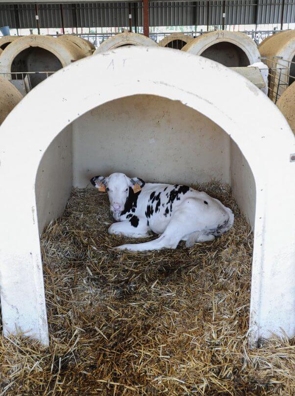 Jo-Anne McArthur, spain, dairy and veal farm, calf, calf hutch
