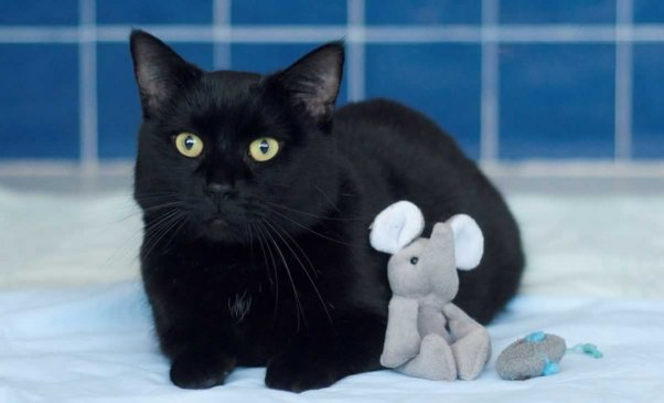 Black cat with small elephant toy