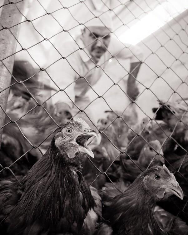 Jo-Anne McArthur, free-range chicken farm, spain, birds try to escape