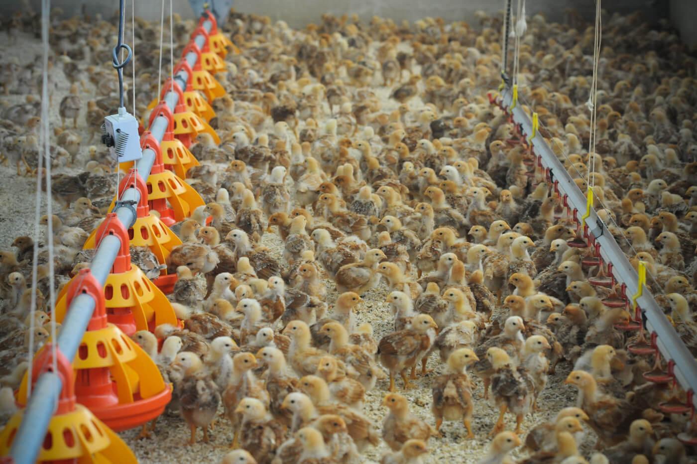 Jo-Anne McArthur, spain, free-range chicken farm