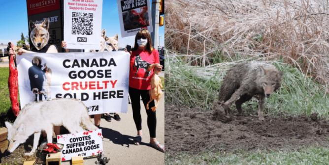 Canada Goose Cruelty