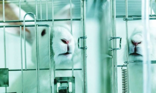 White rabbits in small laboratory cages