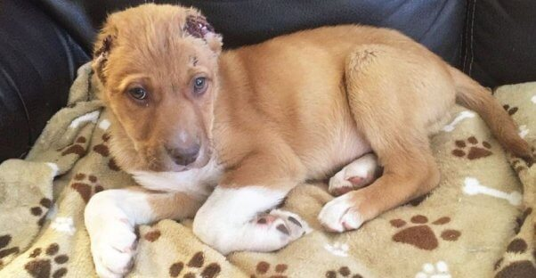 PETA is offering a reward of up to $5k for information on who sliced off this puppy's ears
