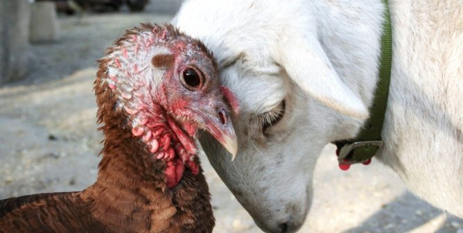 Pre-Thanksgiving Required Viewing: These Turkeys Are Cuddling, and OMG