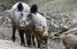 WHY?! Video Shows Men Pushing Boar Off Cliff, Killing the Animal