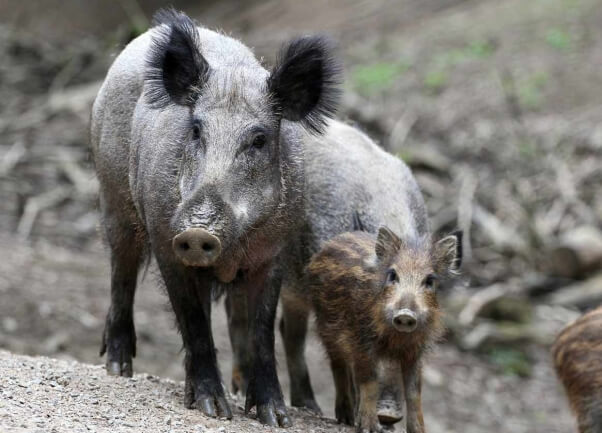 in spain, a video captured a group of men pushing a wild boar over a cliff face, killing the animal for no reason