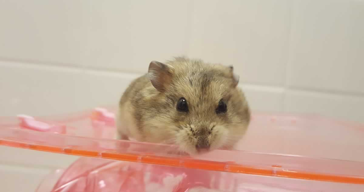 Rescued hamster Dustin on lucite box