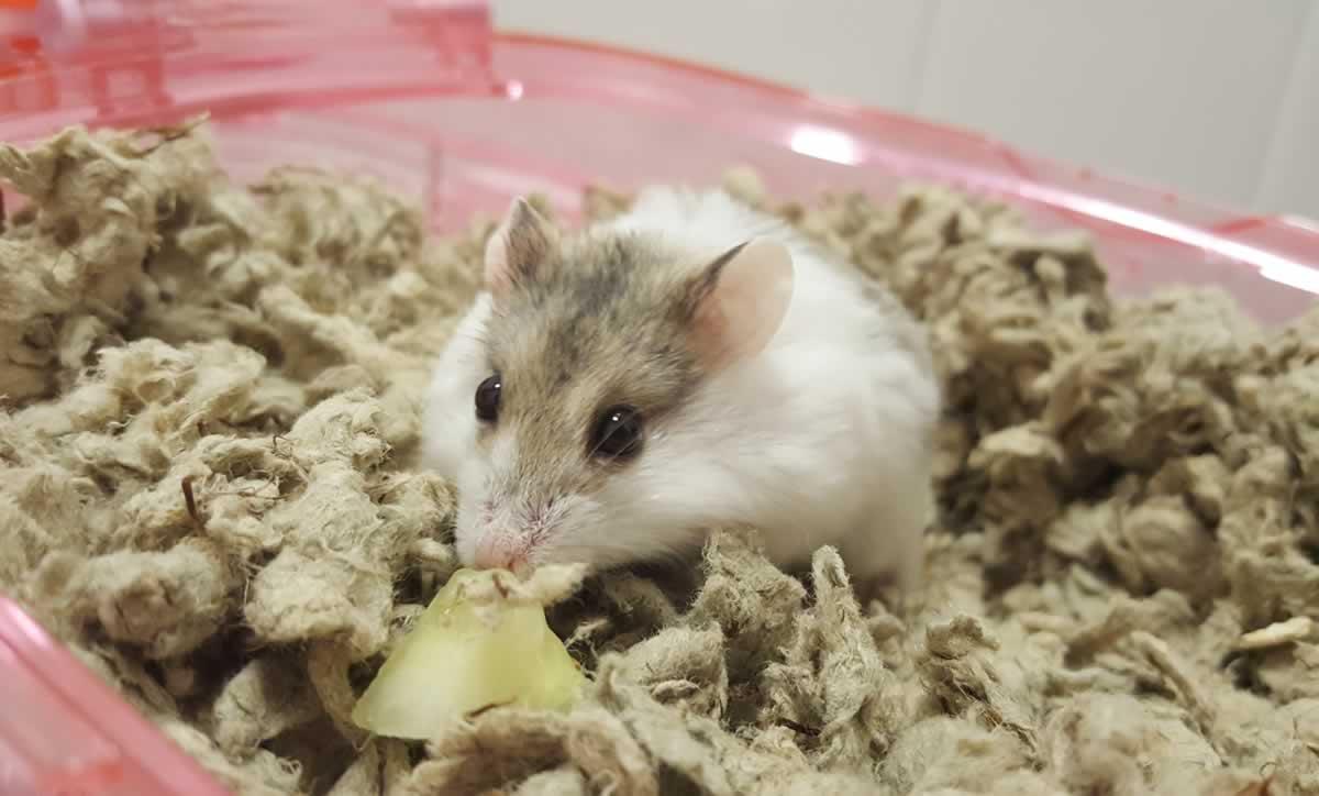 Rescued hamster Lucas eating cucumber slice
