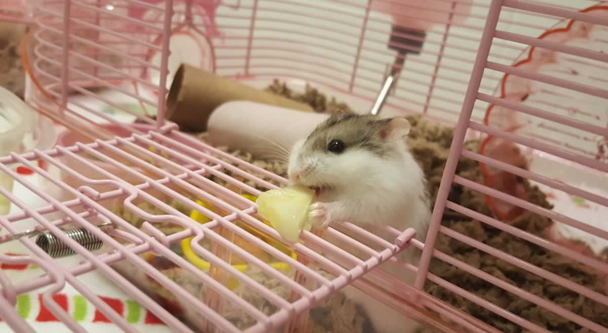 Rescued hamster Mike with cucumber slice