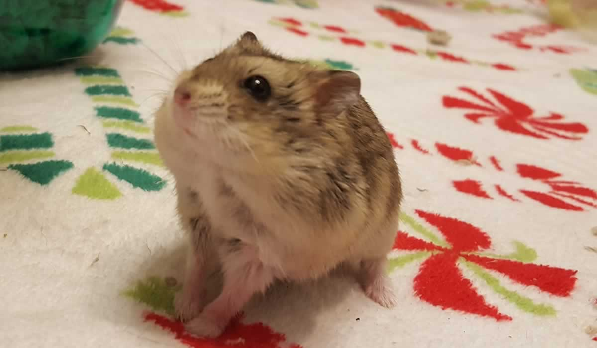Rescued hamster Dustin on holiday-themed blanket