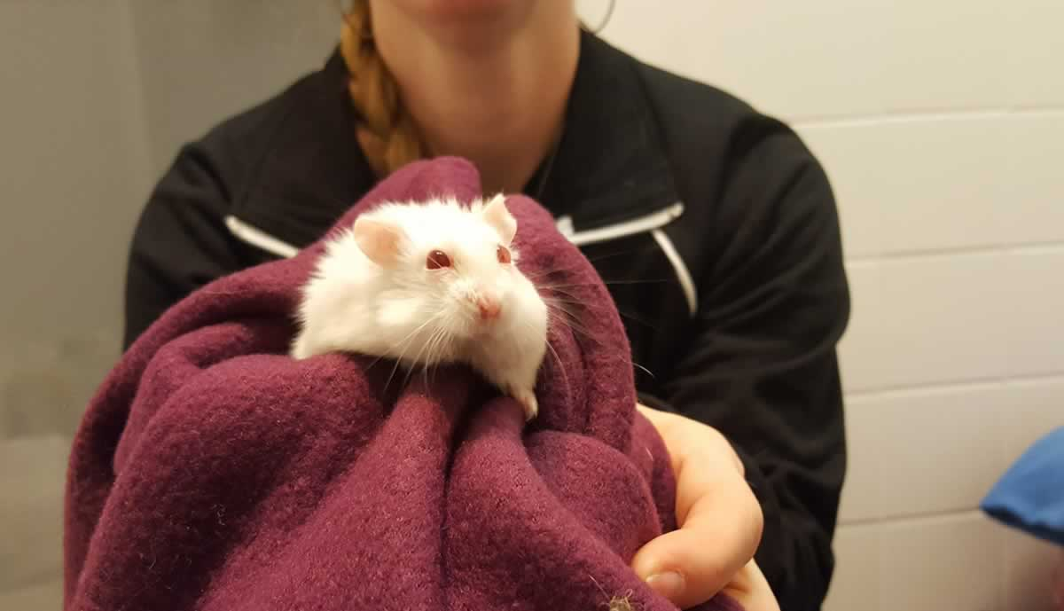 White hamster in burgundy blanket