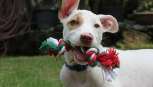 TeachKind Rescue Stories: Christmas the Puppy's First Holiday