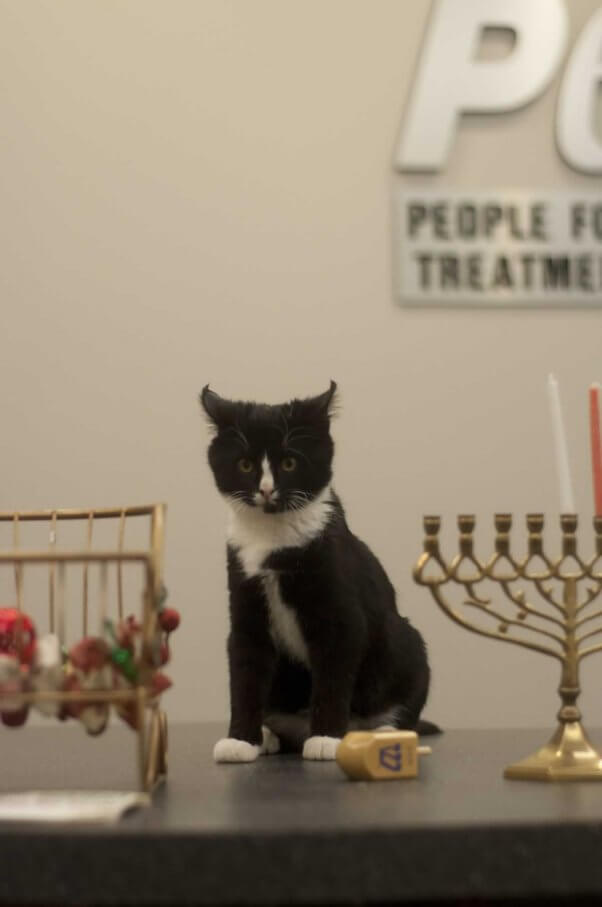 Cute black-and-white kitten on PETA's front desk